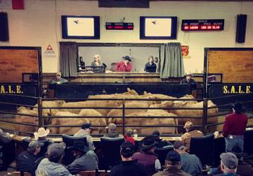livestock auction in alberta